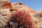 En rød kaktus